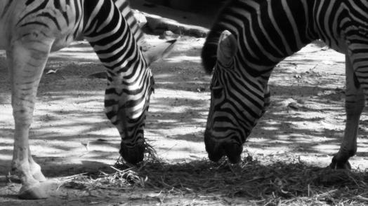 sri lanka zebra