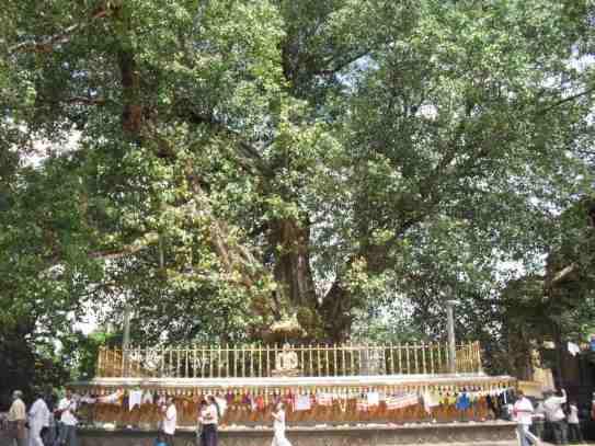 kelaniya temple bo tree
